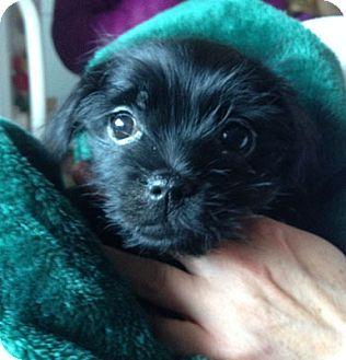 3 7 16 Boston Ma Havanese Mix Meet Peso A Puppy For Adoption