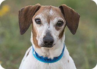 Dachshund Dog For Adoption In Colorado Springs Colorado Digger