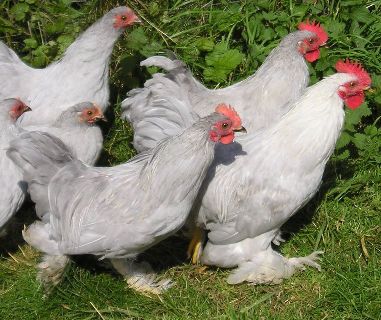 Photographed on the scarlett johanssonslarge fowl breeds provides set of chicken breed picture chart on animal picture society nvjuhfo Gallery