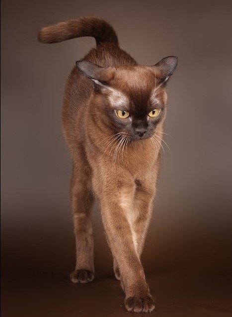 Burma Cat Cat Breeds Burmese Cat Beautiful Cats