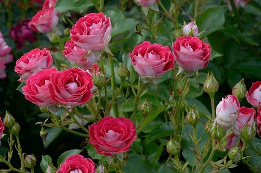 sch ne koblenzerin my garden rose sch ne koblenzerin flowers. Black Bedroom Furniture Sets. Home Design Ideas