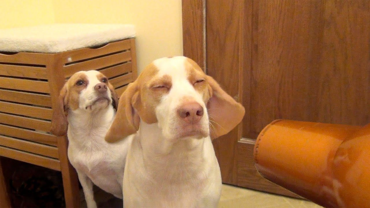 Must see Video Beagle Adorable Dog - 513934e67a0f32dfe94e0a622c1f284a  Gallery_708275  .jpg