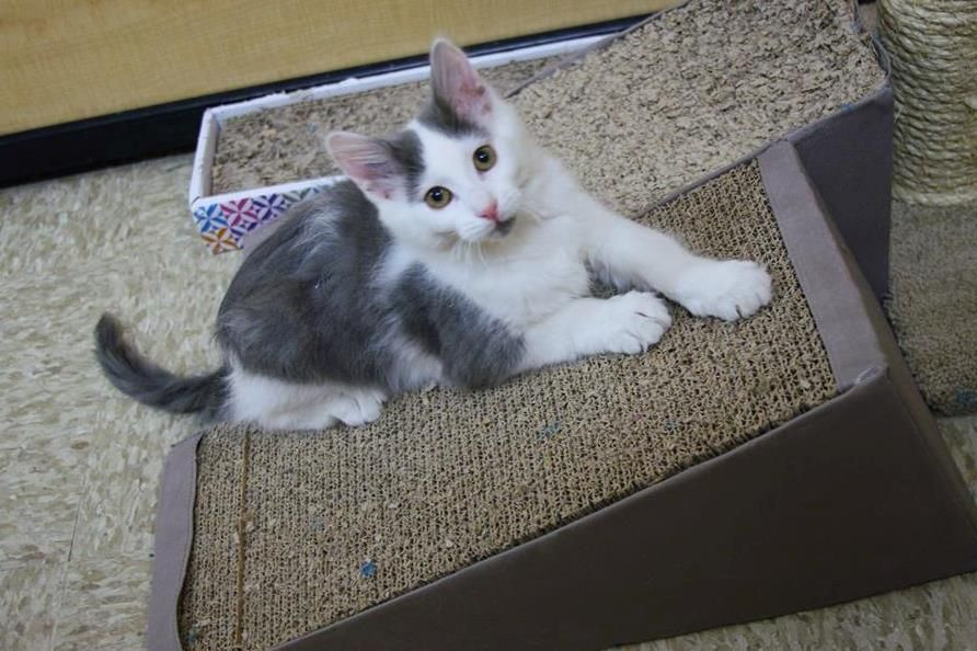 Margo is available for adoption at the Maple Grove @PetSmart. She is 2 months old. #rescue #adoptdontshop #kittens