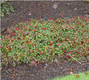 Gaultheria Procumbens Creeping Wintergreen Checkerberry It 39 S Evergreen Front Yard