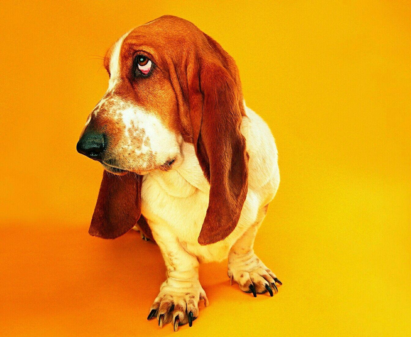 Pin By Erika Finn On Cachorros Gatos Etc Basset Hound Dog Wallpaper Basset Hound Dog