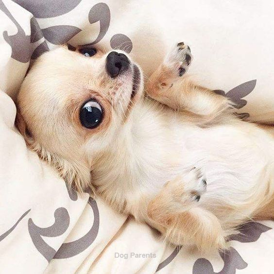 Cute chiuaua
