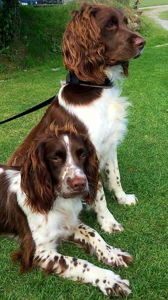 15 Things Springer Spaniels Don T Like Springer Spaniel Puppies Spaniel Breeds Dogs