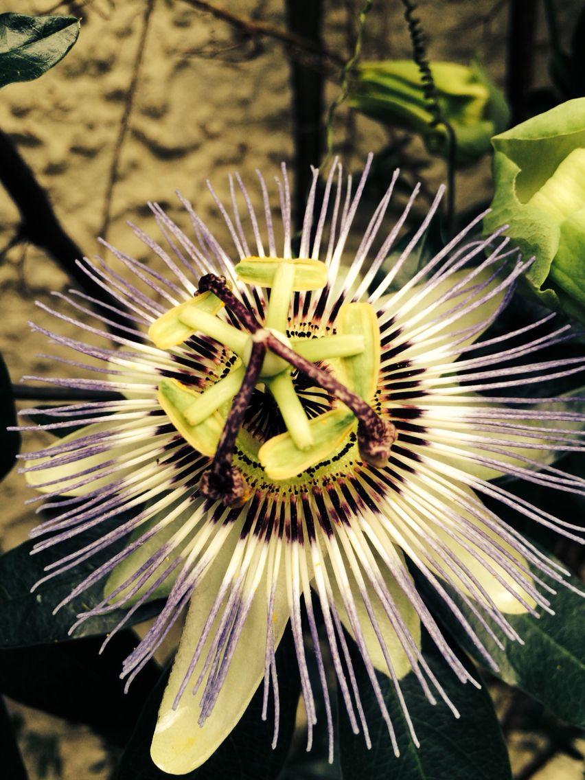 Passion Flower My Garden
