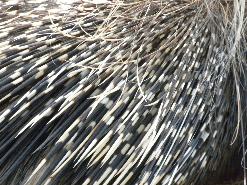 How Porcupine Got Quills