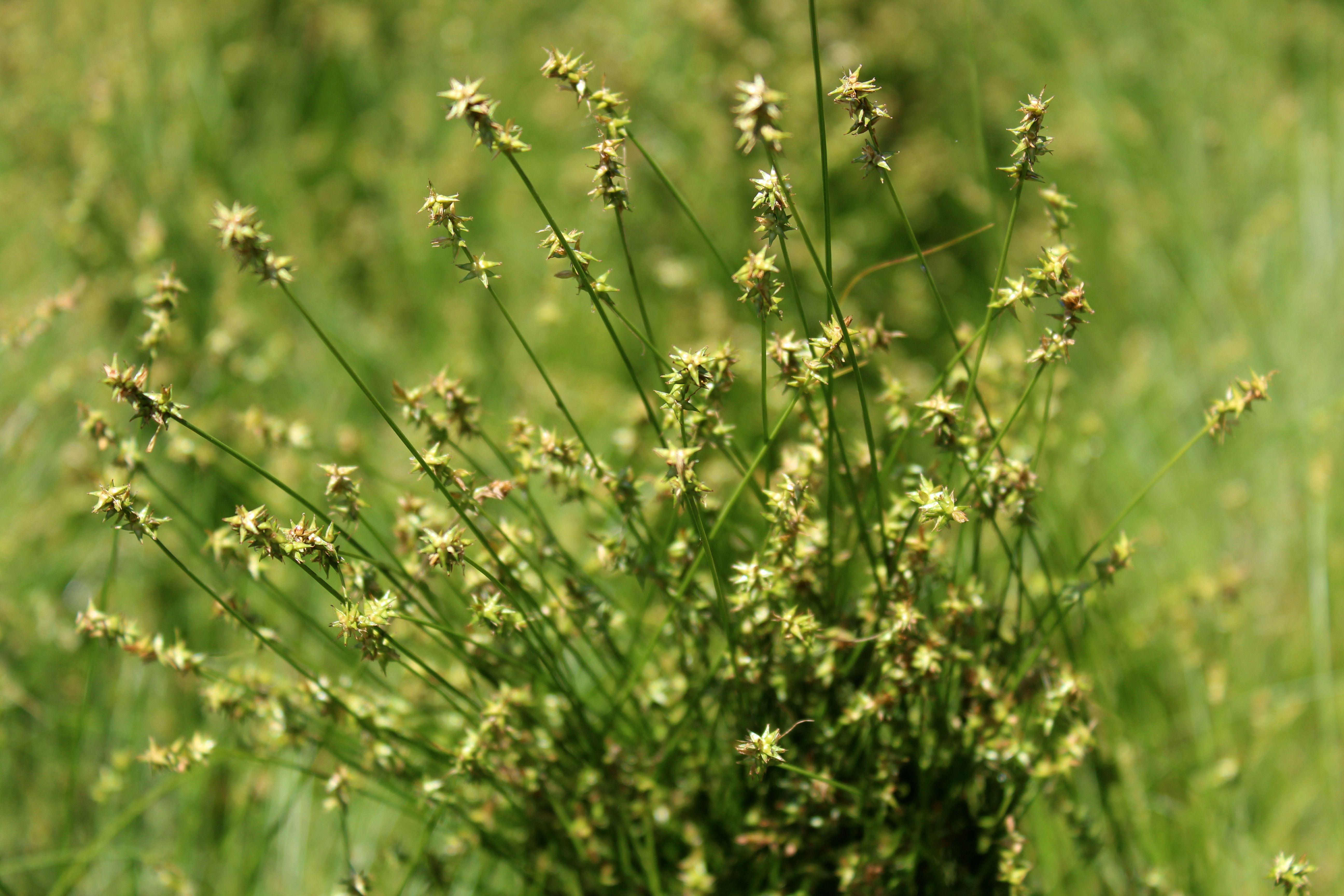 Carex Texensis Texas Sedge Lawn Alternatives Ground Cover