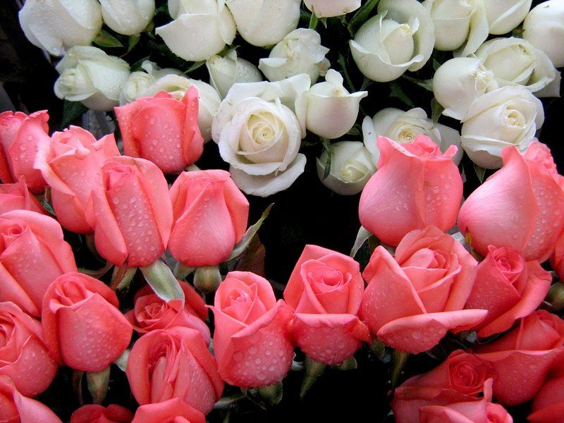 Flores Lindas Para Fondo En Hd Gratis 15 En Hd Gratis Plantas