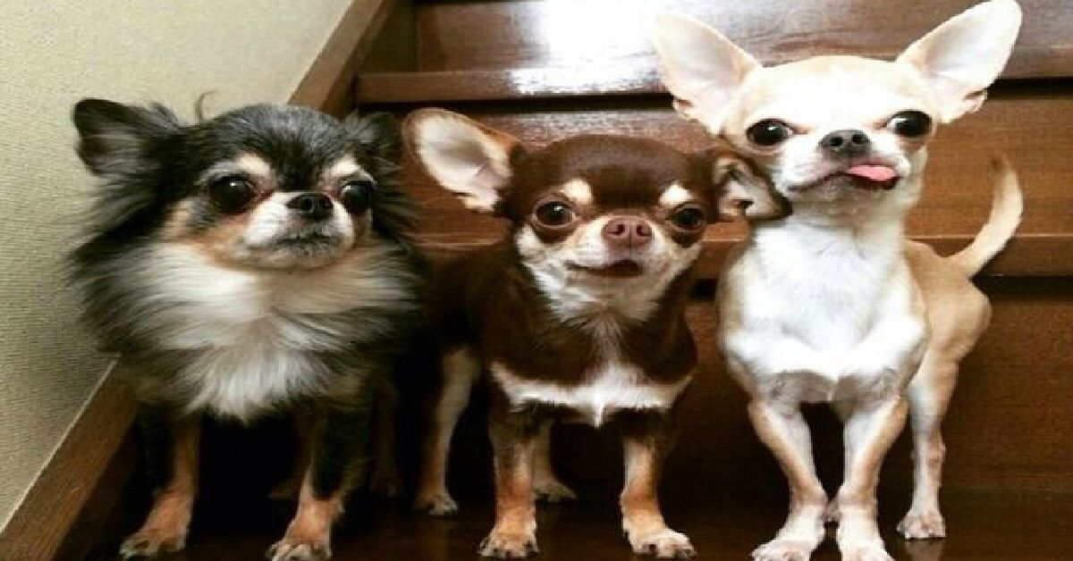 Pin by Sherry Clemons on Chihuahuas Chihuahua, Baby