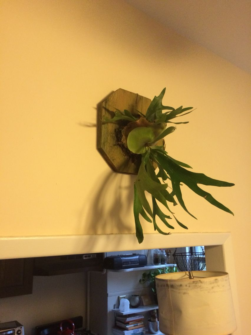 The stag horn fern is really thriving in our living room.