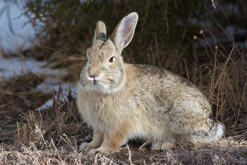Cottontail Rabbit. A cottontail rabbit sitting under a