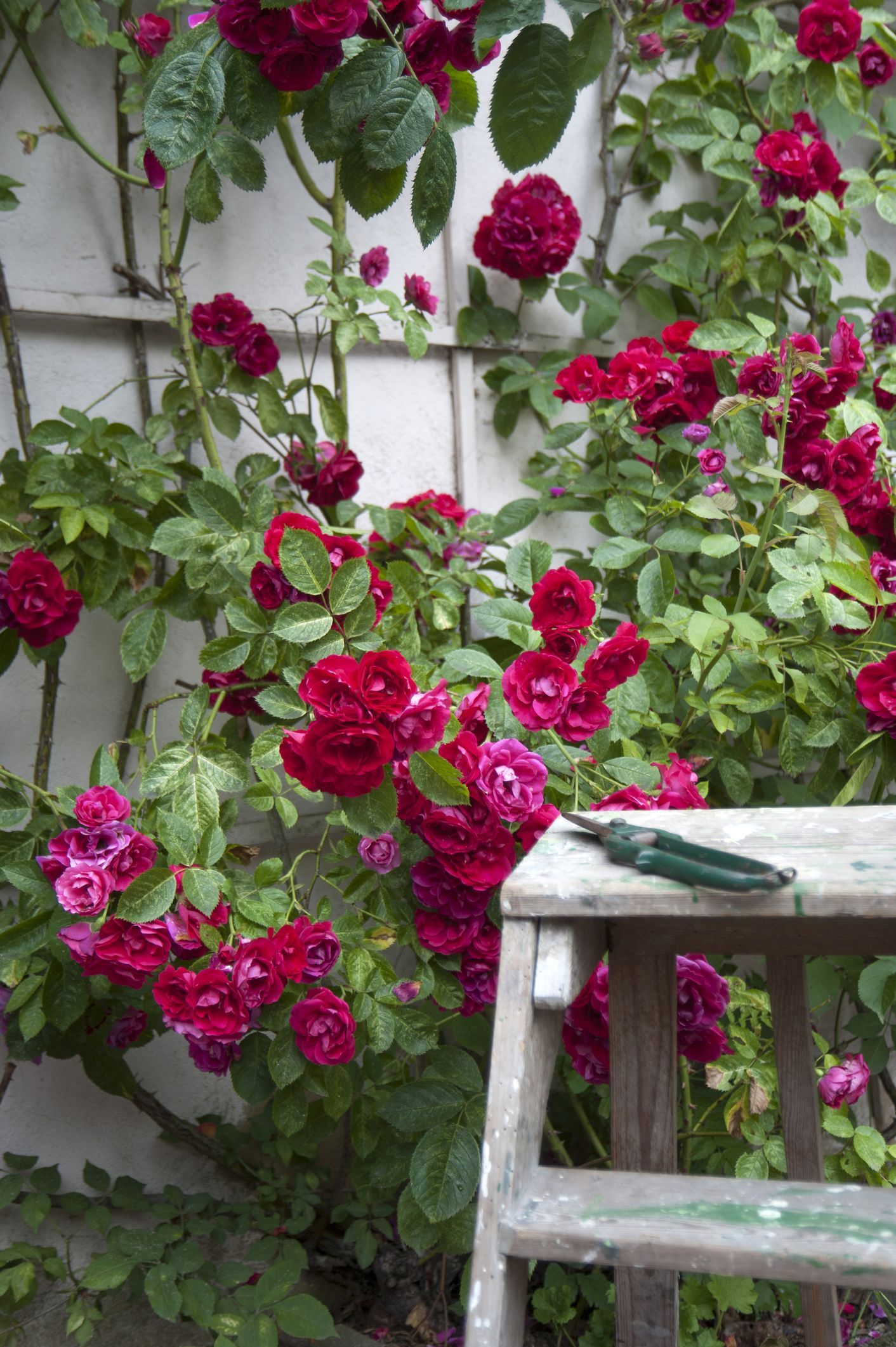 How To Properly Prune Roses Pruning Roses Rose Deadheading Roses