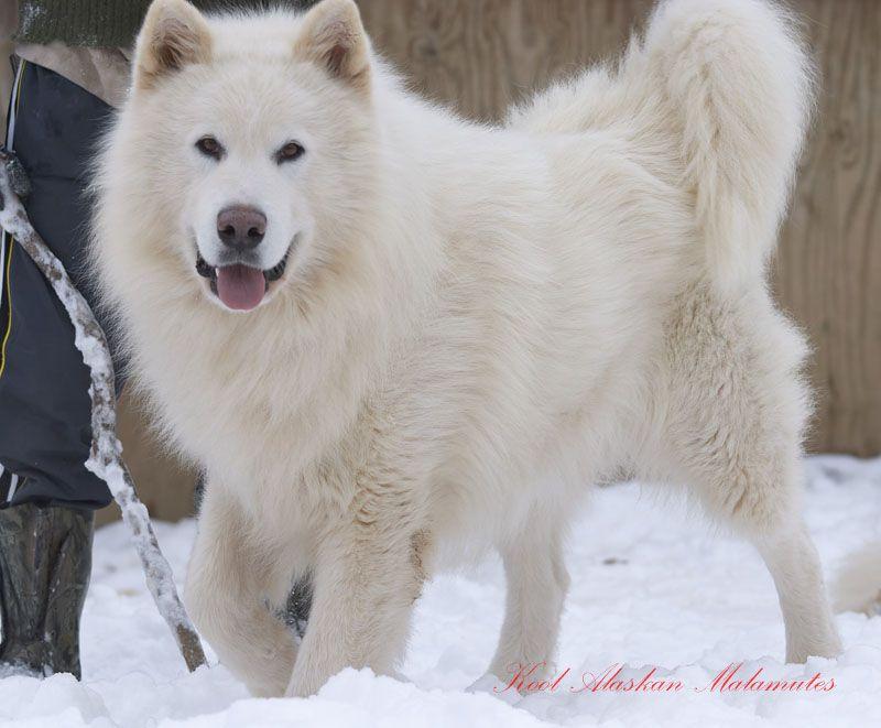alaskan malamute pure white - Cerca con Google | Alaskan ...
