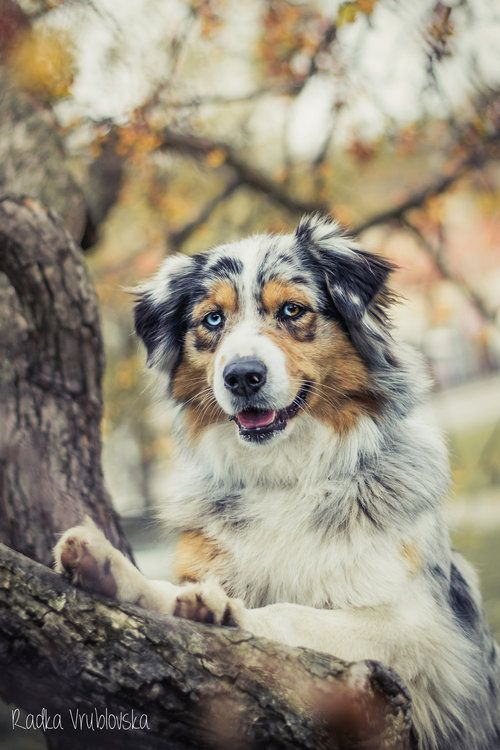 Australian Shepherds Australian Shepherds Aussie Dogs
