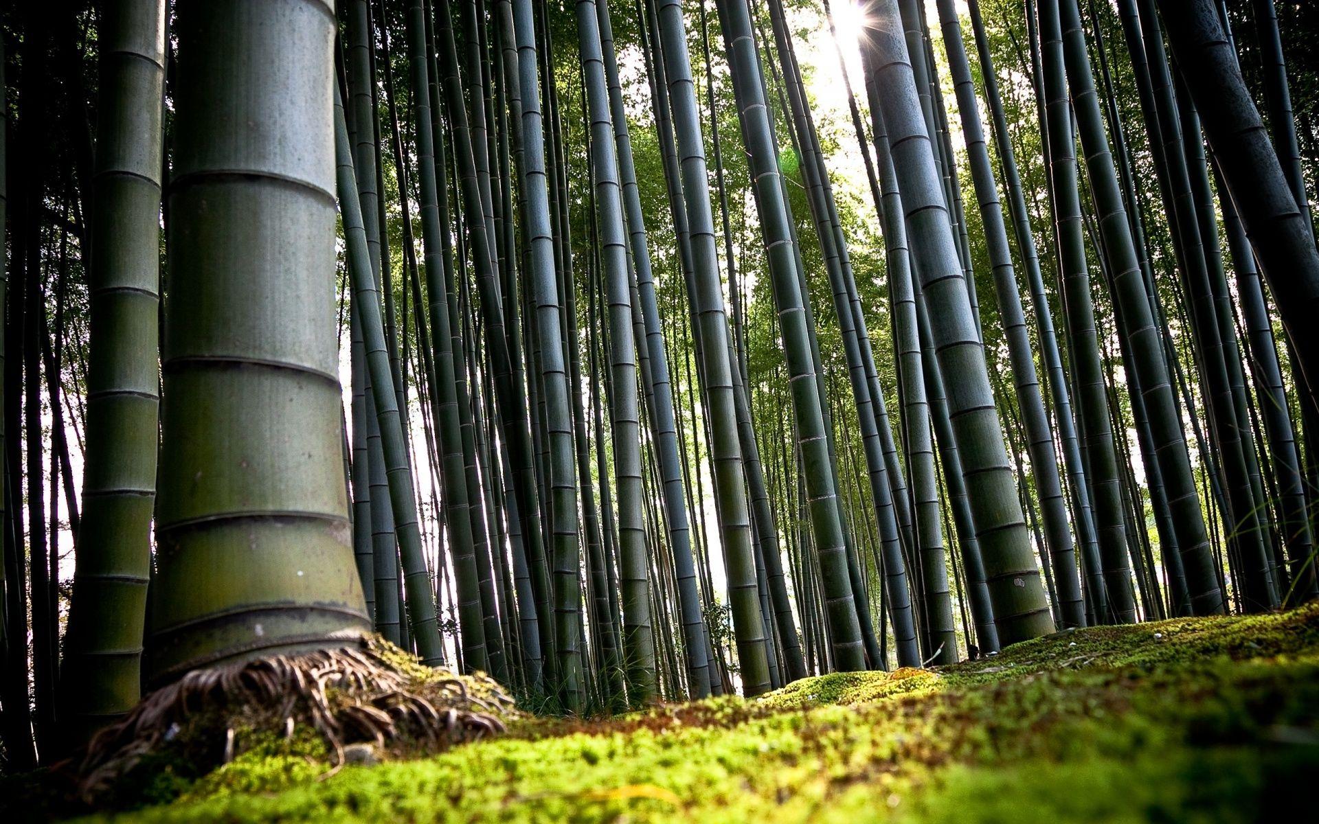 Bamboo Trees Forest Hd Desktop Wallpaper Wallpapercow Com