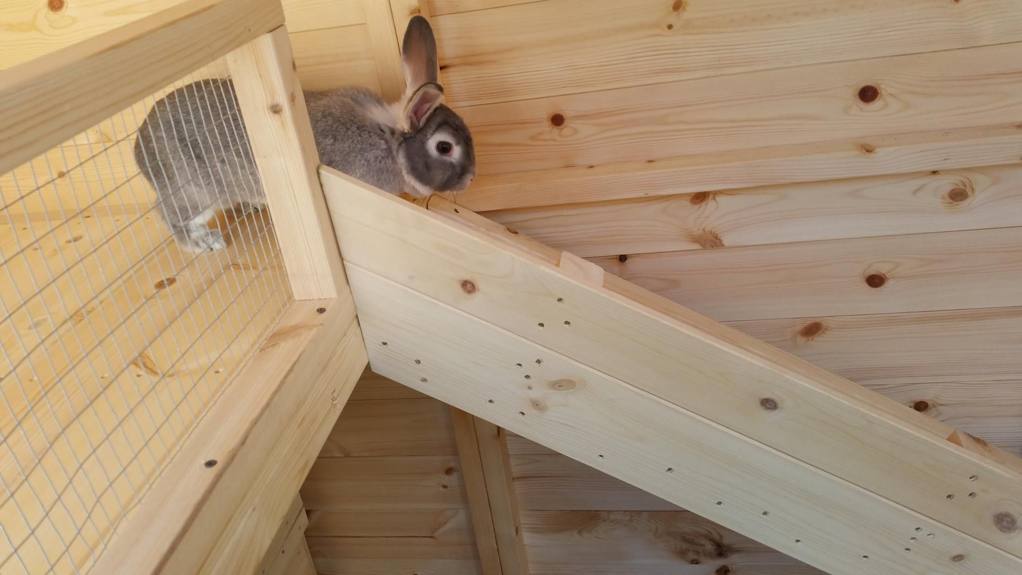 Our Dora Using The Rabbit Ramp Made By Boyles Pet Housing Rabbit Shed Pet Shed Bunny Sheds
