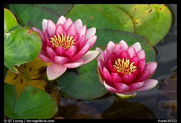 Water Lily Flower Butchart Gardens Victoria British Columbia