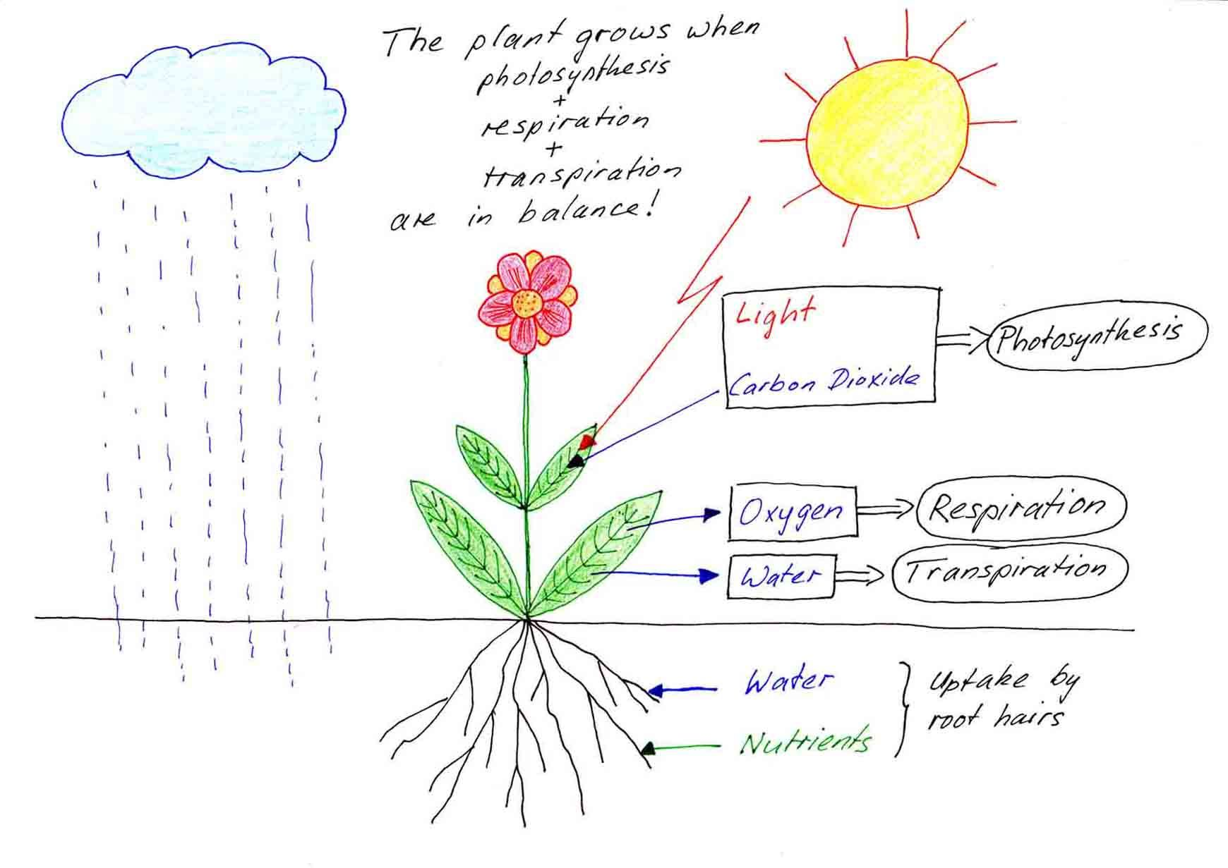 Heres a nice diagram outlining the processes of photosynthesis heres a nice diagram outlining the processes of photosynthesis respiration and transpiration in plants pooptronica Image collections