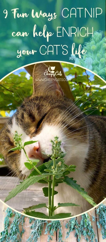 9 Fun ways catnip can enrich your cat's life Cat life