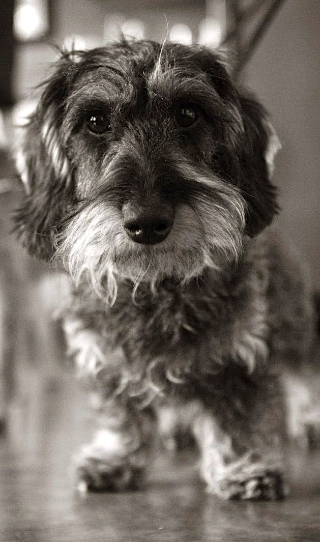 Wirehair Dachshund In Black White Dachshund Dog Wire Haired