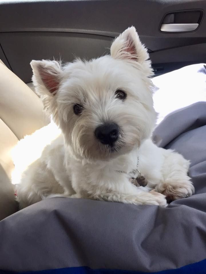 How do i look?? Westie dogs, Westie puppies, Dogs