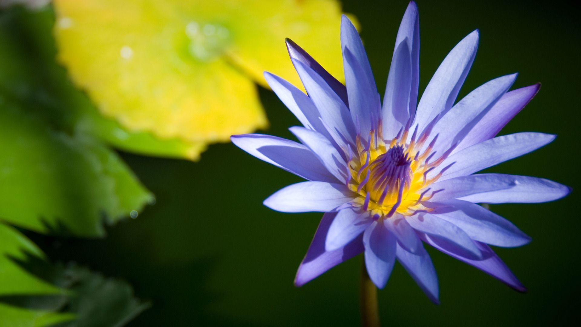 Blue Lotus Flower Splendid Wallpaper Hd Imgstocks Lotus