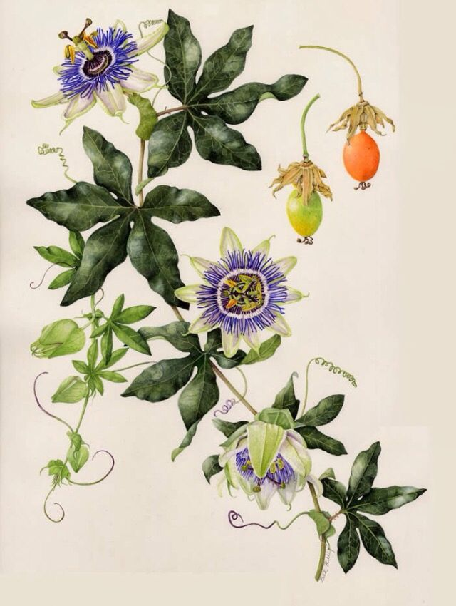 Passiflora Passionflower Blue Passion Flower Flower Drawing Passion Fruit Flower