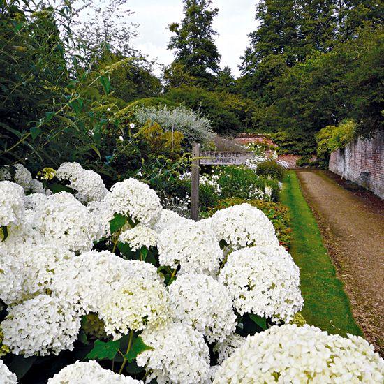 Highclere Castle Hydrangea Annabelle In The White Border Garden