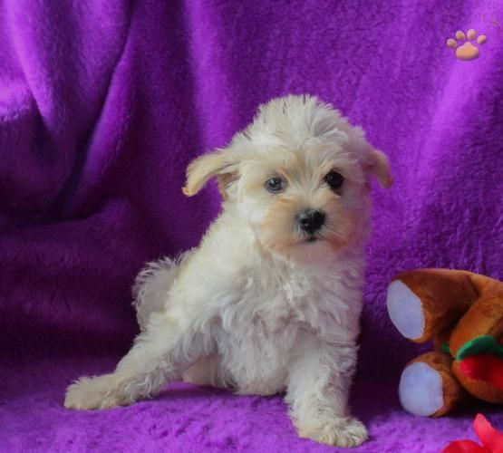 Gloria Schnoodle Puppy For Sale In Mcclure Pa Lancaster Puppies Schnoodle Puppies For Sale Schnoodle Schnoodle Puppy