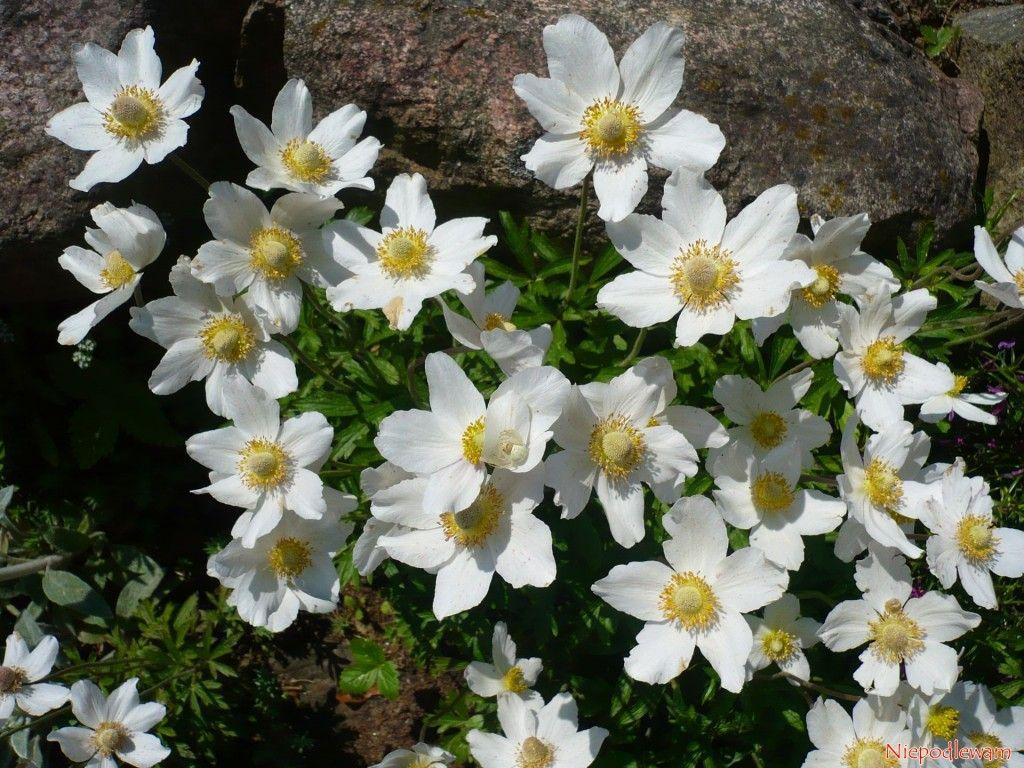 Zawilec Wielkokwiatowy Anemone Silvestris Anemone Plants Garden
