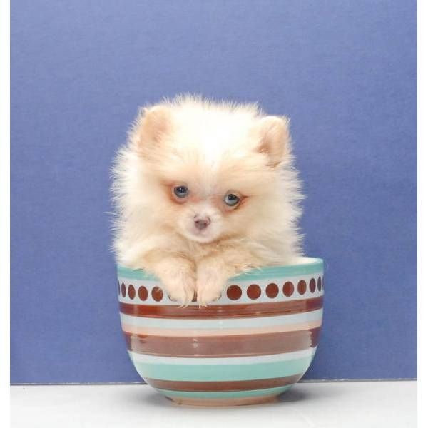 Micro Teacup Pomeranian Puppies For Sale Uk Zoe Fans Blog