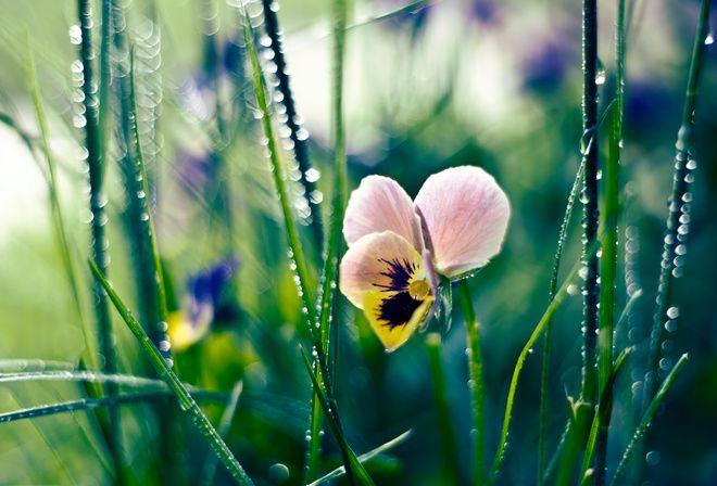 Трава, роса, цветок, капли, анютины глазки | Анютины ...