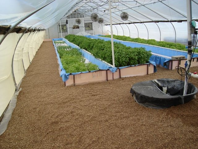 Greenhouse aquaponics system check out my personal for Raising tilapia in a pool