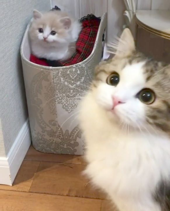 Stunning > Cats And Kittens For Sale Adelaide D Cats