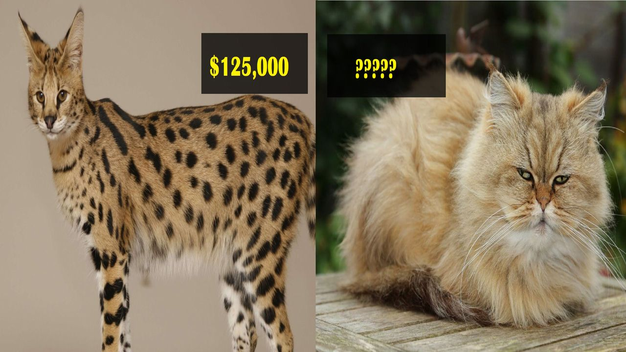 Most expensive And Rare Cat Breeds In The World Rare cat