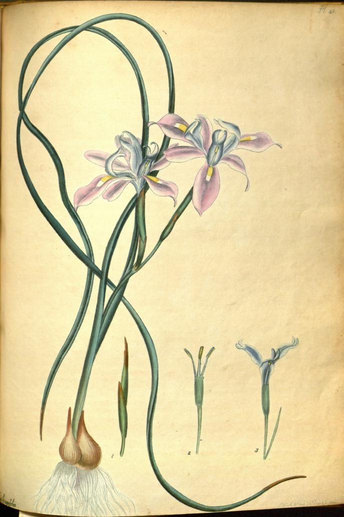 Long-leaved Iris (Iris longifolia). Plate from 'The Botanist's Repository' by Henry Andrews. Published 1797 by The author in London archive.org