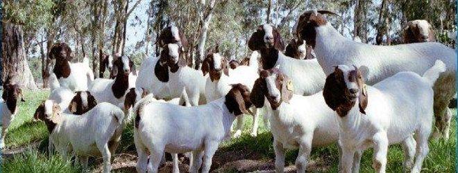 Australian Boer Goat Association - #goatvet knows it has ... - photo#33