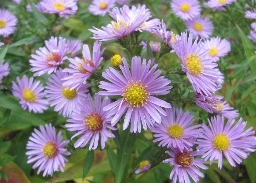 100 Heart Leaved Aster Cordifolius Blue Wood Aster Flower Etsy Aster Flower Blue Plants Flower Seeds