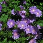 stokes-asters