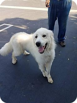 Facts About Dopey Breed Golden Retriever Great Pyrenees Mix Color
