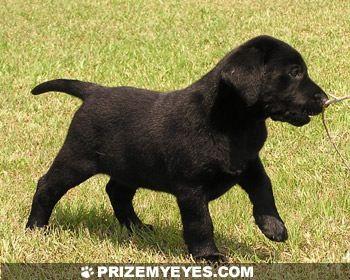 Black Lab Puppy Puppies And Kitties Black Lab Puppies Black Labrador Puppy