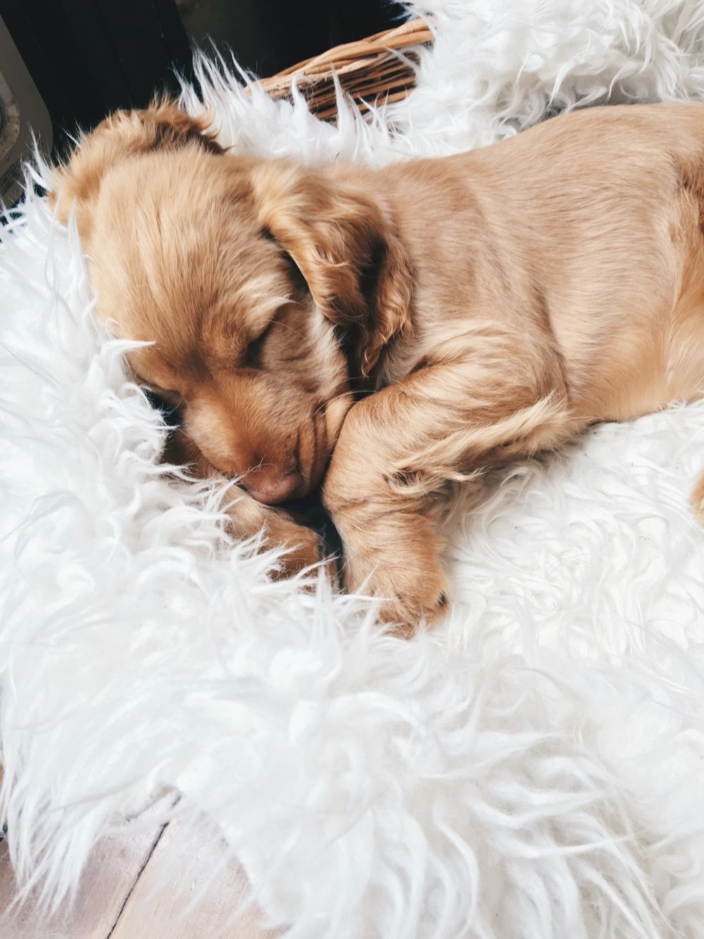 Pin by danika houghton on puppy pinterest sleeping puppies