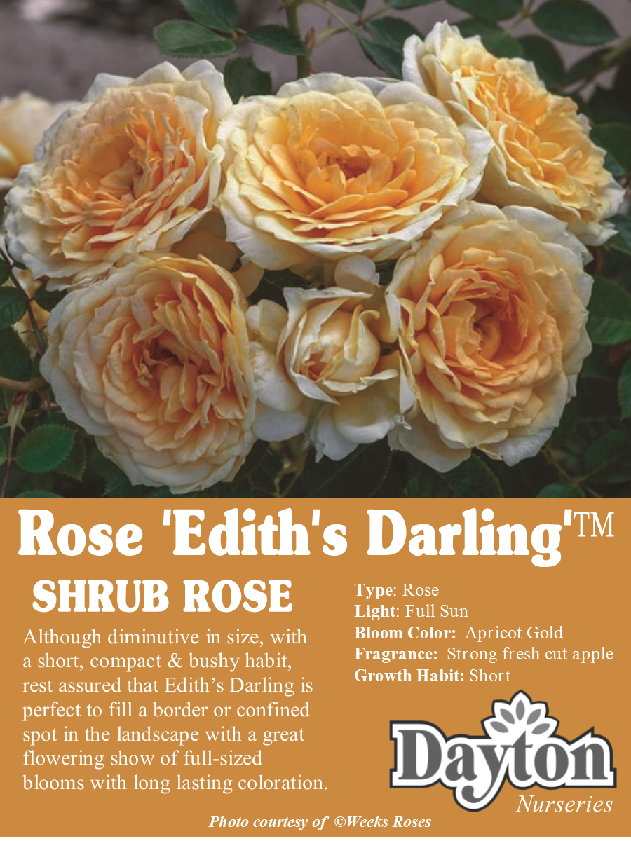 Rose Edith S Darling Shrub Rose Although Diminutive In Size With A Short Compact Bushy Habit Rest Assured Th Shrub Roses Weeks Roses Beautiful Roses