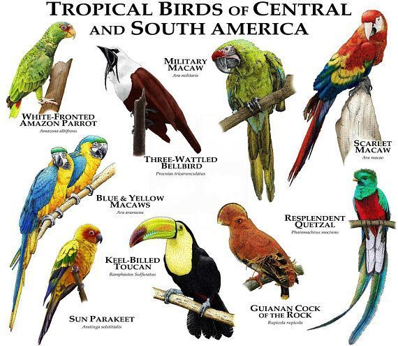 useful lovelybaby tropical birds south america special  #America #birds #lovelybaby #South #Special #tropical