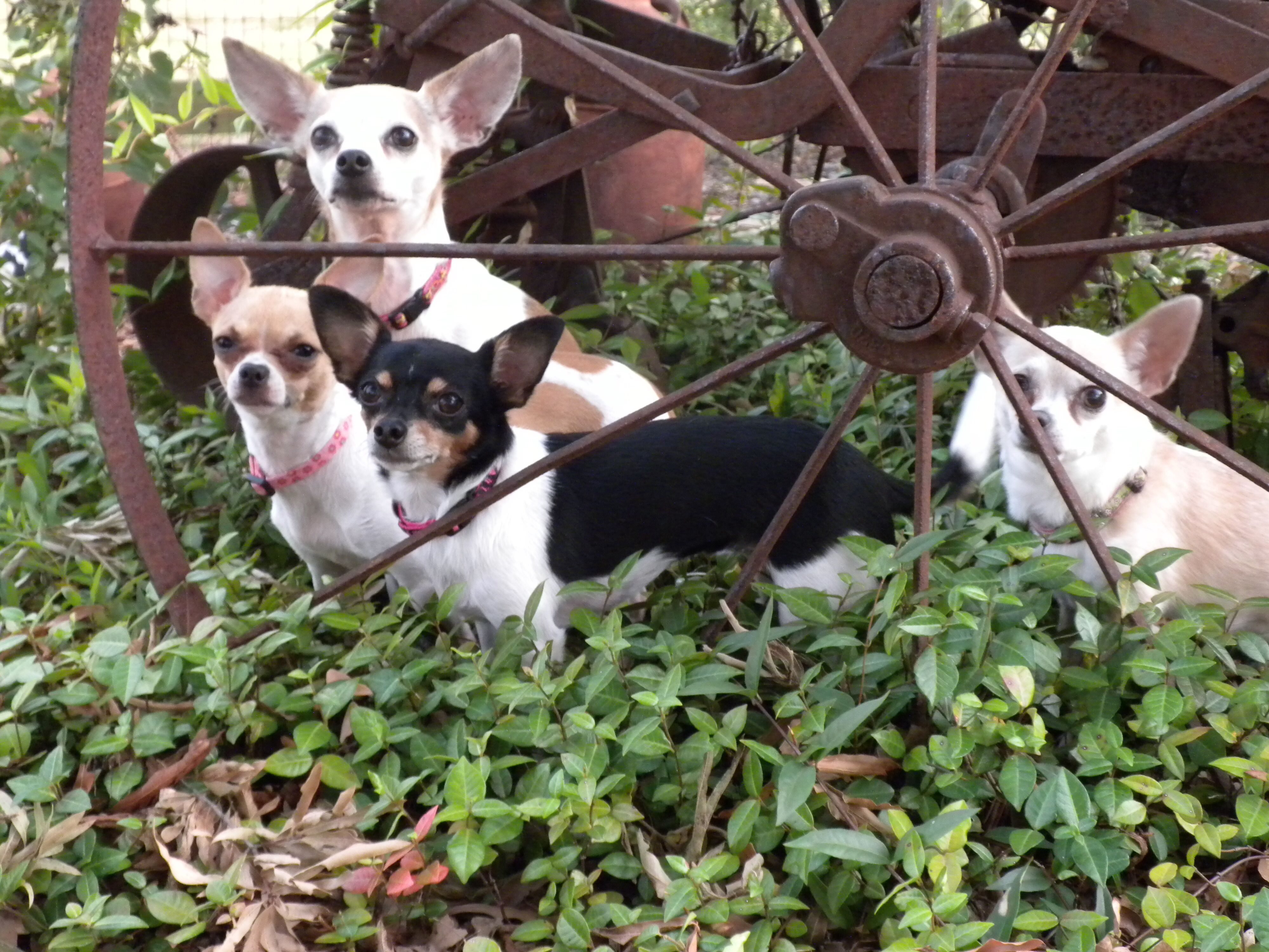 Oh so cute! Terrier, Boston terrier, Animals