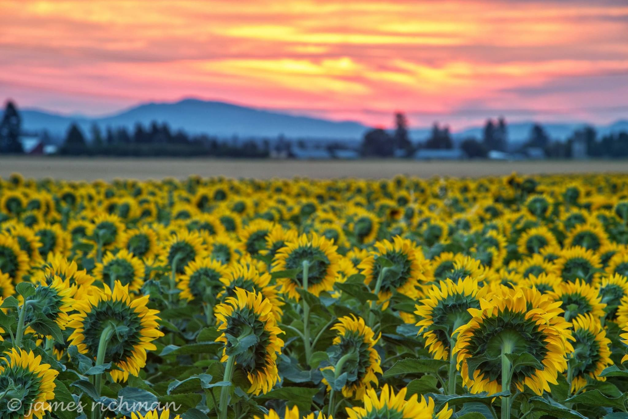James Richman Photography   -    ~ Sunflowers at Dawn ~ earlier this August, near Deer Park, WA