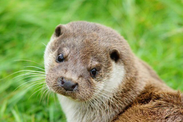 Today is International Otter Awareness Day! #IntlOtterAwareDay  Follow >>> @IOSF   Support >>> http://www.otter.org/stopPress.aspx
